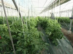 トマト葉かき4